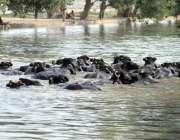 ملتان: گرمی کی شدت کے باعث بھینسیں نہر میں بیٹھی ہیں۔