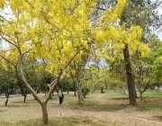 اسلام آباد: وفاقی دارالحکومت میں درختوں پر کھلے موسمی پھولوں کا خوبصورت ..