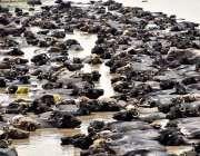 لاڑکانہ: شدید گرمی اور حبس کے باعث بھینسین پانی میں بیٹھی ہیں۔