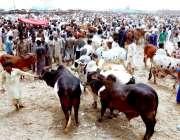 حیدر آباد: عیدالاضحی کی آمد کے موقع پر مویشی منڈی میں خریداروں کے رش ..