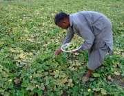 چنیوٹ: کسان کھیت سے تازہ سبزی چن رہا ہے۔