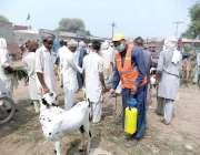 چنیوٹ: محکمہ لائیوسٹاک کا اہلکار مویشی منڈی میں جانوروں کو کانگو وائرس ..