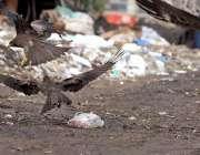 راولپنڈی: چیلیں کچرے کے ڈھیر کے قریب پڑے گوشت کے ٹکڑے اٹھا رہی ہیں۔