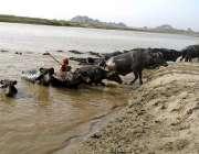 چنیوٹ: گرمی کی شدت کے باعث بھینسیں دریائے چناب سے نہا کر نکل رہی ہیں۔