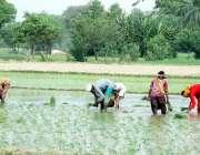 فیصل آباد: کسان مرد اور عورتی کھیت میں چاول کی کاشت میں مصروف ہیں۔
