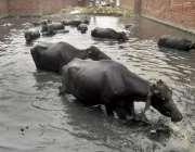 لاہور: چائنہ سکیم میں بھینسیں گندے پانی کے جوہڑ میں نہا رہی ہیں۔