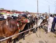 اسلام آباد: عیدالاضحی کی آمد کے موقع پر مویشی منڈی میں لائے گئے قربانی ..