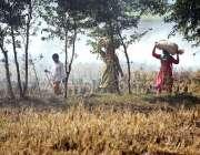 لاہور: کسان خواتین چاول کی فصل کٹائی کے بعد اٹھائے لیجا رہی ہیں۔