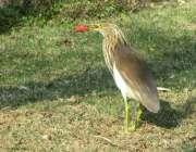 فیصل آباد: پرندے نے اپنی چونچ میں گوشت کا ٹکڑا پکڑ رکھا ہے۔