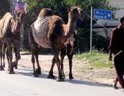 راولپنڈی: دودھ فروش اپنی اونٹھنیوں کے ہمراہ منزل کی طرف رواں دواں ہے۔