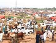 اسلام آباد: عیدالاضحی کی آمد کے موقع پر مویشی منڈی میں خریداروں کے رش ..