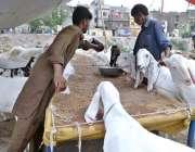 راولپنڈی: عید قربان کے لیے مویشی منڈی میں لائے گئے بکروں کو بیوپاری ..