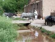 پشاور: بھینسیں لکڑی کاعارضی پل کراس کر رہی ہیں۔