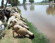 ملتان: بھیڑ بکریاں نو بہار کنال سے پانی پی رہی ہیں اور نہر کنارے لگی ..