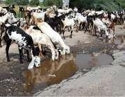 فیصل آباد: پیاس کی شدت کم کرنے کے لیے بکرے پانی پی رہے ہیں۔