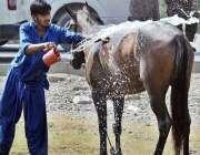 راولپنڈی: نوجوان گھوڑے کو گرمی سے بچانے کے لیے نہلا رہا ہے۔