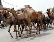 فیصل آباد: اونٹوں کا قافلہ ملت روڈ سے گزررہا ہے۔