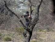 راولپنڈی: نوجوان بطور ایندھن استعمال کرنے کے لیے درخت سے شاخیں توڑ ..