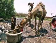 حیدر آباد: اونٹ پانی پی رہا ہے۔