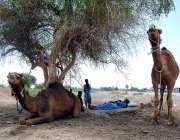 حیدر آباد: خانہ بدوش شخص اپنے اونٹوں کے ہمراہ درخت کے نیچے آرام کر رہا ..
