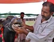 اسلام آباد: عیدالاضحی کی آمد کے موقع پر بیوپاری قربانی کی گائے کے دانت ..
