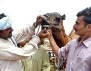 ملتان: عید الاضحی کی آمد کے موقع پر شہری مویشی منڈی میں قربانی کے لیے ..