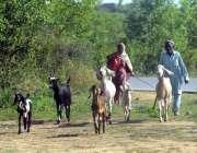 اسلام آباد: وفاقی دارالحکومت میں ایک معمر جوڑا بکریاں چرا رہا ہے۔