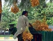 راولپنڈی: محنت کش تازہ کھجوریں سجائے گاہکوں کا منتظر ہے۔