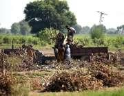 لاہور: کسان ٹریکٹر ٹرالی پر درخت کی بھاری لکڑی لوڈ کر رہے ہیں۔
