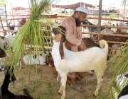 ملتان: عید قربان کے لیے مویشی منڈی میں لائے گئے بکرے کے بیوپاری بال ..