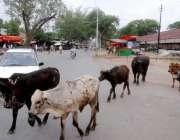 لاہور: شہر میں جانور رکھنے پر پابندی کے باوجود بھینسیں مغلپورہ روڈ ..