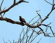 پشاور: خشک درخت پر ایک پرندہ بیٹھا ہے۔