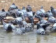 ملتان: کبوتر گرمی کی شدت سے بچنے کے لیے پانی میں نہا رہے ہیں۔