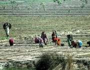 ملتان: کسان مرد و خواتین کھیت میں روزہ مرہ کام میں مصروف ہیں۔