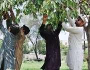 لاہور: نوجوان درخت سے جام توڑ رہا ہے۔
