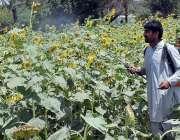 فیصل آباد: محنت کش کھیت میں سپرے کرنے میں مصروف ہے۔