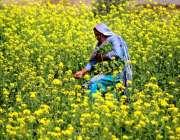 ملتان: معمر خاتون کھیت سے سرسوں توڑ رہی ہے۔