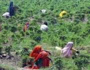 حیدر آباد: کسان خواتین کھیت سے جڑی بوٹیاں کاٹنے میں مصروف ہیں۔