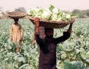 فیصل آباد: کسان کھیت سے گوبھی چن رہے ہیں۔