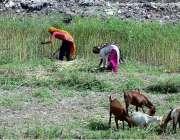 حیدرآباد: کسان خواتین کھیت سے چارا کاٹ رہی ہیں۔