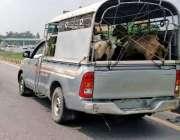 راولپنڈی: بغر نمبر پلیٹ پنجاب پولیس کی گاڑی جانور لوڈ کئے مور گاہ روڈ ..