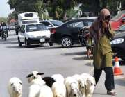 اسلام آباد: وفاقی دارالحکومت میں ایک چرواہا دھوپ کی شدت سے بچنے کے لیے ..