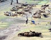 پشاور: چرواے بڑی تعداد میں اپنی بھڑی بکریاں چرا رہے ہیں۔