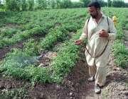 پشاور: کسان ٹماٹر کی فصل پر سپرے کر رہا ہے۔
