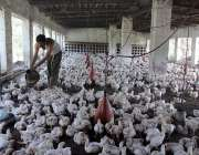 ملتان: مرغی خانے میں مزدور مرغیوں کو خوراک دے رہا ہے۔
