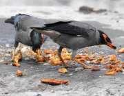 راولپنڈی:پرندہ فٹ پاتھ پر پھینکی گئی کھانے کی اشیاء چن رہے ہیں۔