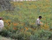 ملتان: کسان کھیت سے پھول چن رہے ہیں۔