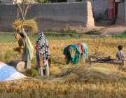 ملتان: کسان خواتین چاول کی فصل کی کٹائی میں مصروف ہے۔