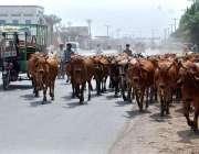 فیصل آباد: گائیاں ٹریفک کی روانی کو متاثر کرنے کاسبب بن رہی ہیں۔