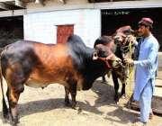 پشاور: بیوپاری گائے فروخت کے لیے گاہکوں کا منتظر ہے۔